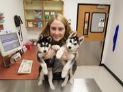 playful siberian huksy puppies