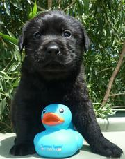CUTE LABRADOR PUPS FOR SALE